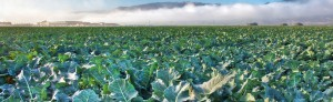 broccoli-rabe-field